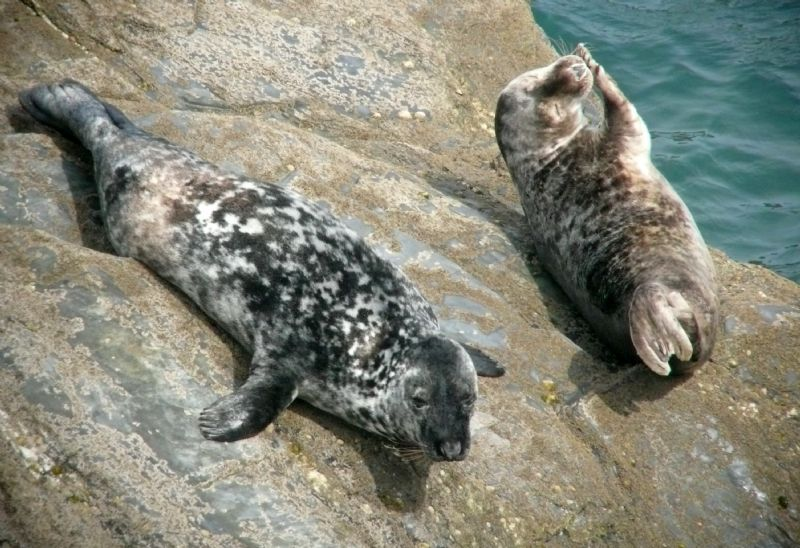Juvenile Seals Image copyright Cornwall Seal Group Research Trust