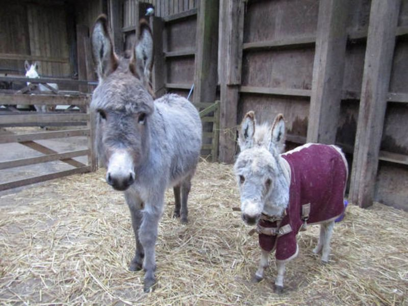 Little Paddington and his friend, Penny at The Flicka Foundation Donkey Sanctuary