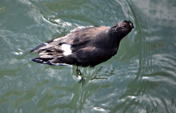 Storm Petrel. Photo by Mike Harrington, 20/11/2011