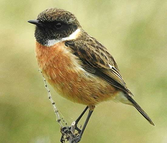 Stonechat. Photo by Paul Ash, 14/03/2017