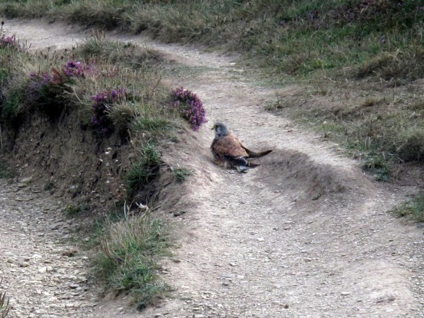 Kestrel having a dust bath