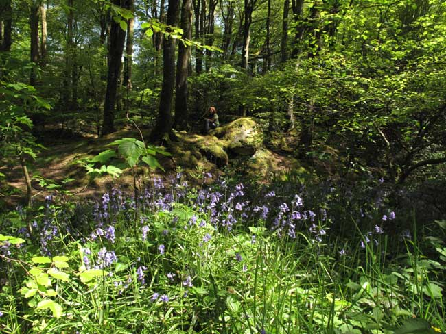 Bluebells in Cornwall