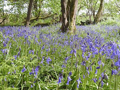 Bluebells in St Loy Wood