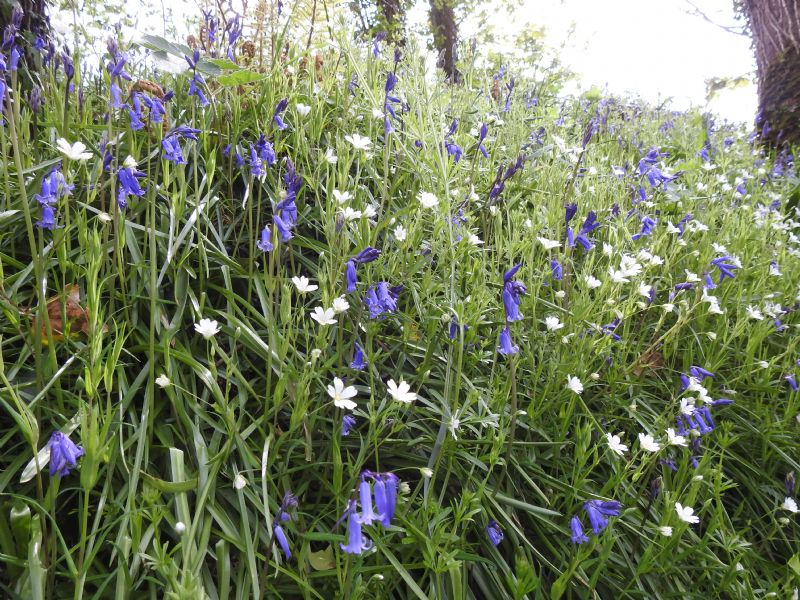 Bluebells and Greater Stitchwort in a Cornish Woodland