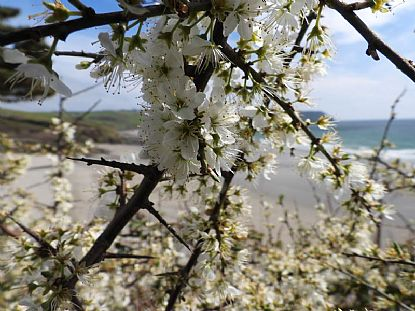 Blackthorn Blossom at Pendower Beach