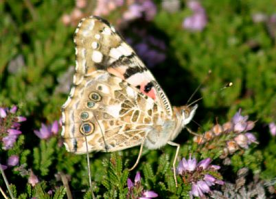Painted Lady Butterfly, Mayon Cliff, Sennen
