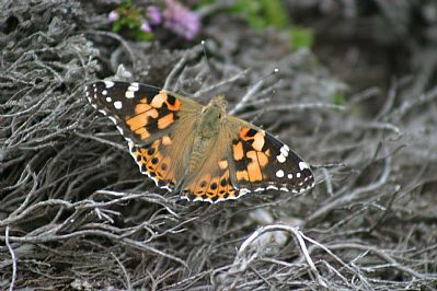 Painted Lady, Mayon Cliff, Sennen