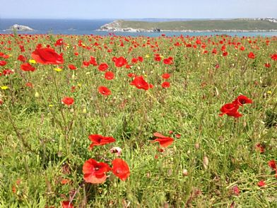 Poppy fields at West Pentire near Crantock, Newquay