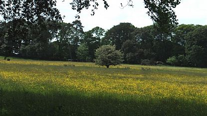 Meadow of Buttercups at Mount Edgcumbe Country Park