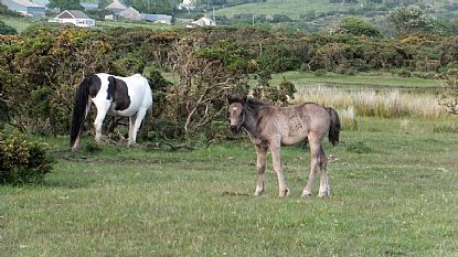 Pony and Foal on Bodmin Moor
