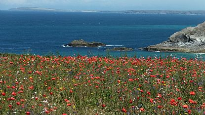 Poppy Fields on West Pentire, near Crantock