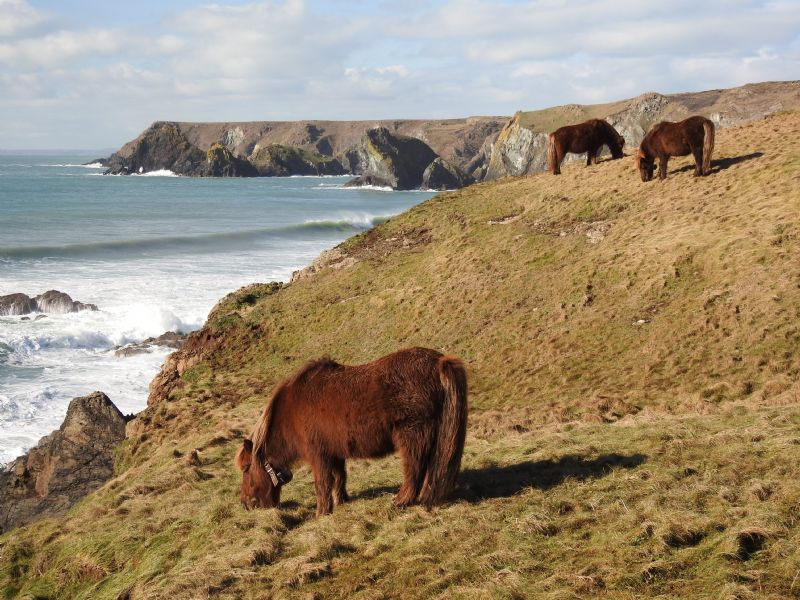 Shetland Ponies on the Cliffs between Caerthillian Cove and Lizard Point