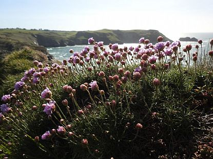 Flowers on the Coast Path