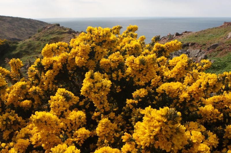 Gorse on the Coast Path near Botallack