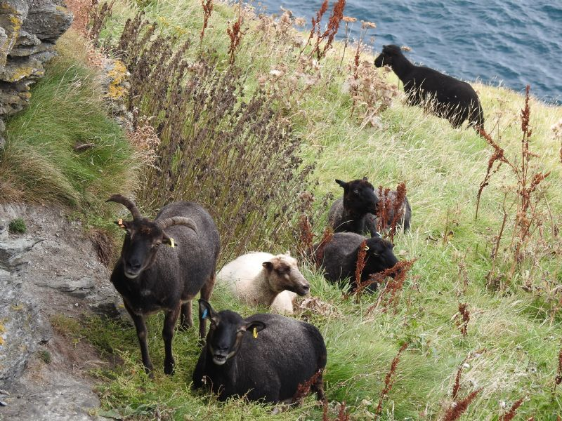 Goats Grazing on Barras Nose, Tintagel