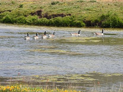 Canada Geese enjoying the lake at St Gothian Sands Local Nature Reserve
