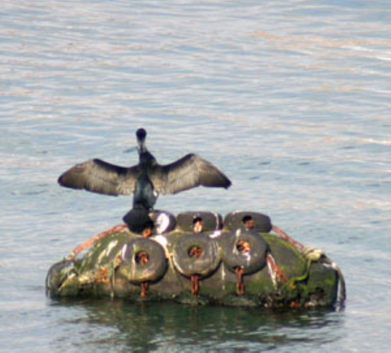 Cormorant at Newlyn Harbour