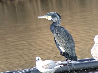 Cormorant at Swanpool Nature Reserve, Falmouth