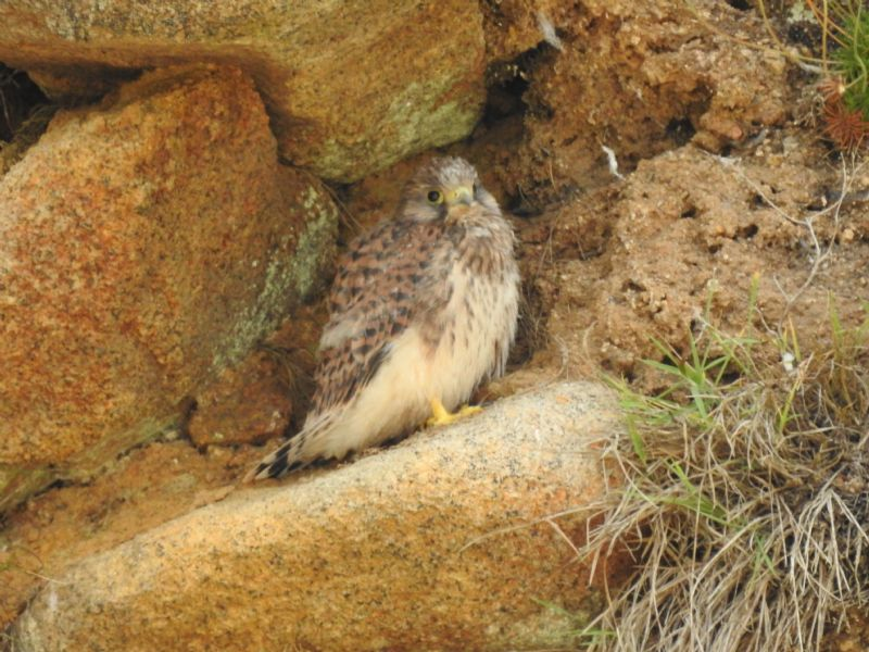 Kestrel Chick on the Land's End Peninsula