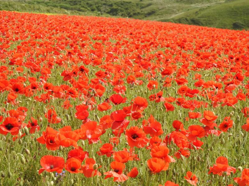 Poppy field at West Pentire