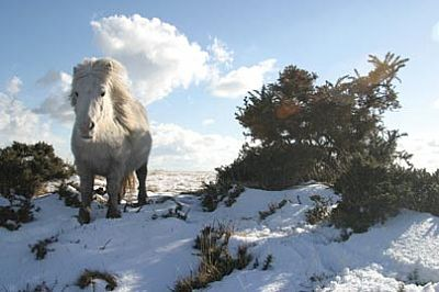 Bodmin Moor Pony in Winter