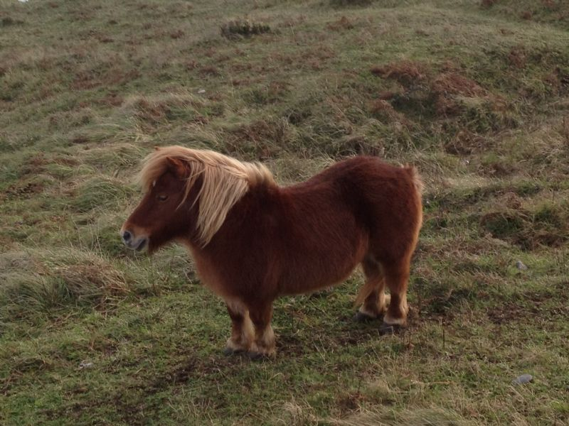 Exmoor Pony at Kennack Sands
