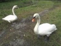 Swans at Watergate near Looe, Cornwall