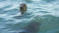 Seals Bottling on Cornwall's North Coast