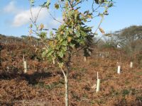 Steeple Woods - newly planted trees