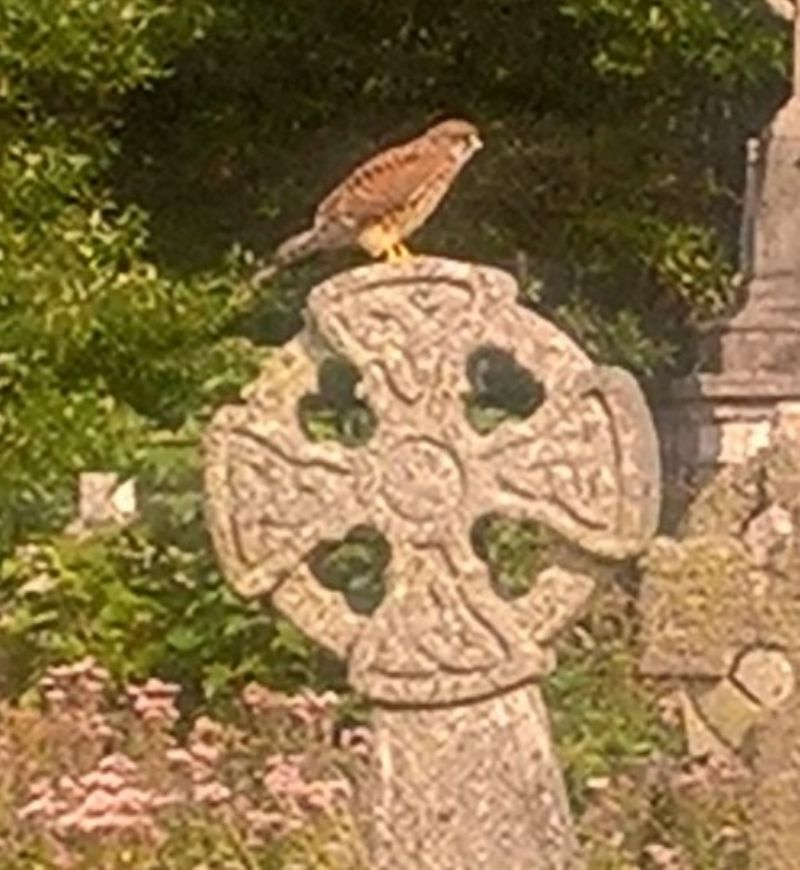 Kestrel Hunting in Living Churchyard at St Uny, Lelant (Photo by Diane)